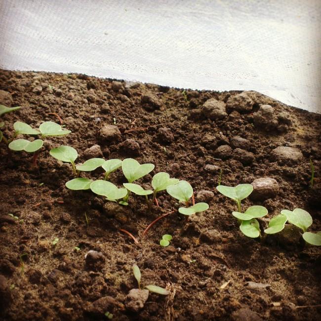 Das Experiment Mit Dem Gartenvlies Ruhrpott Farmer